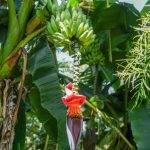 ETIOPIA Torea Village - piante di caffè all'ombra di banani
