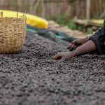 ETIOPIA Torea Village - controllo del caffè