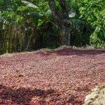 ETIOPIA Torea Village - essiccazione caffè