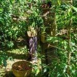 ETIOPIA Torea Village - raccolta del caffè
