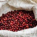 COSTA RICA San Antonio - ricezione delle drupe