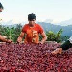 COSTA RICA San Antonio - selezione dei caffè
