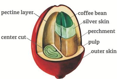 Coffee cherry anatomy