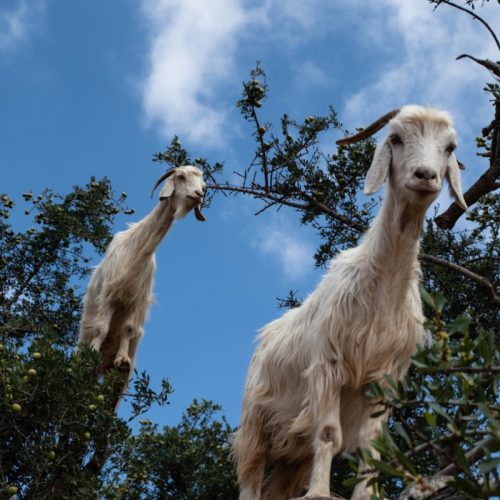 Goats on top of a tree