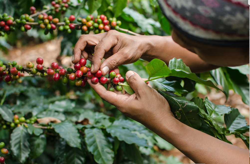 Hand picking of coffee cherries done by a woman