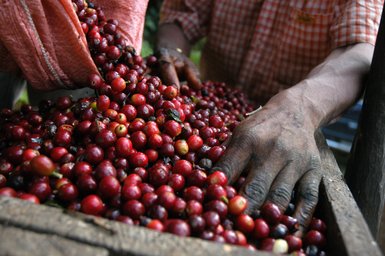 A man starting the processing of the coffee cherries
