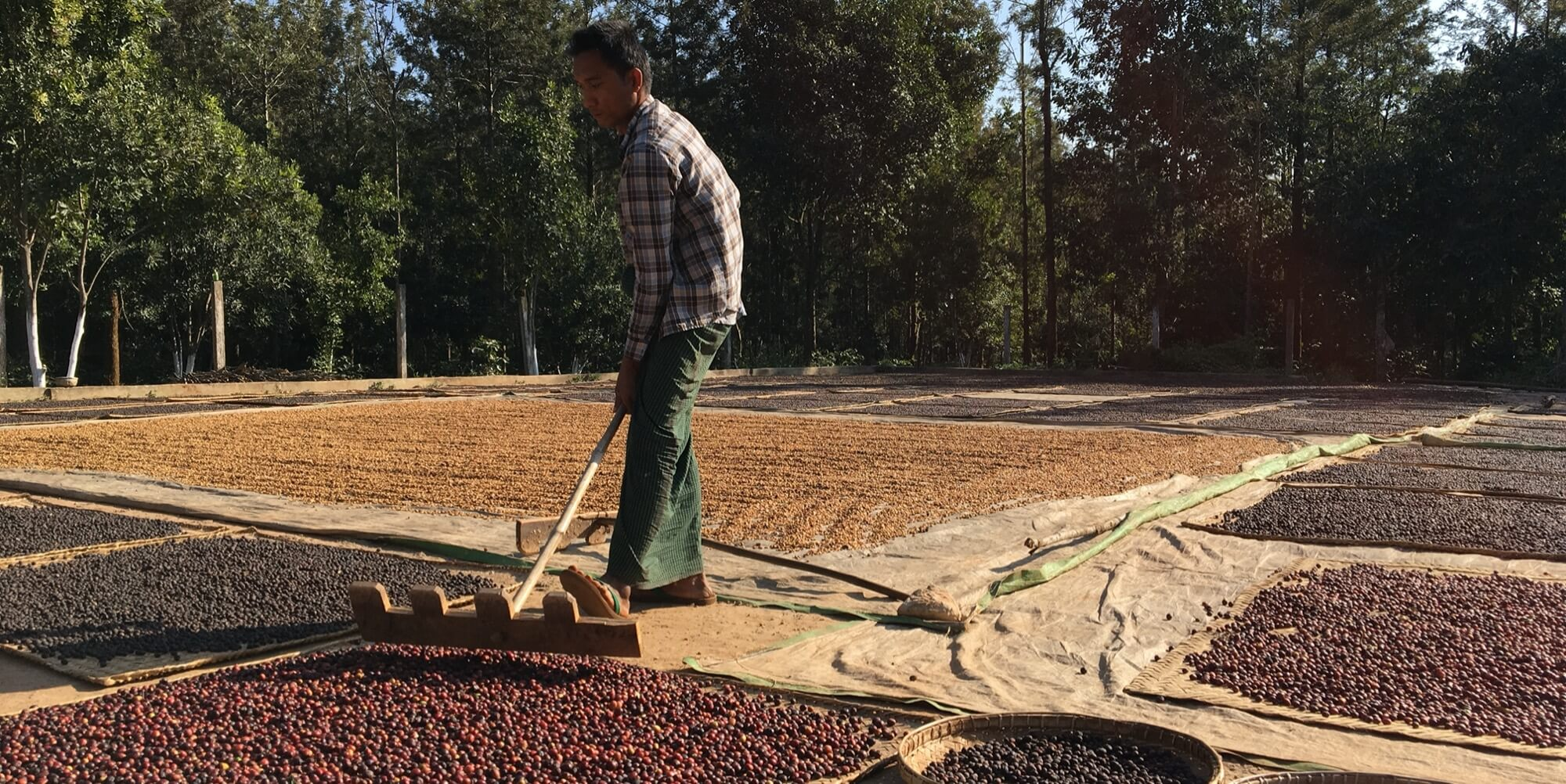 Coffee drying process in a Myanmar plantation