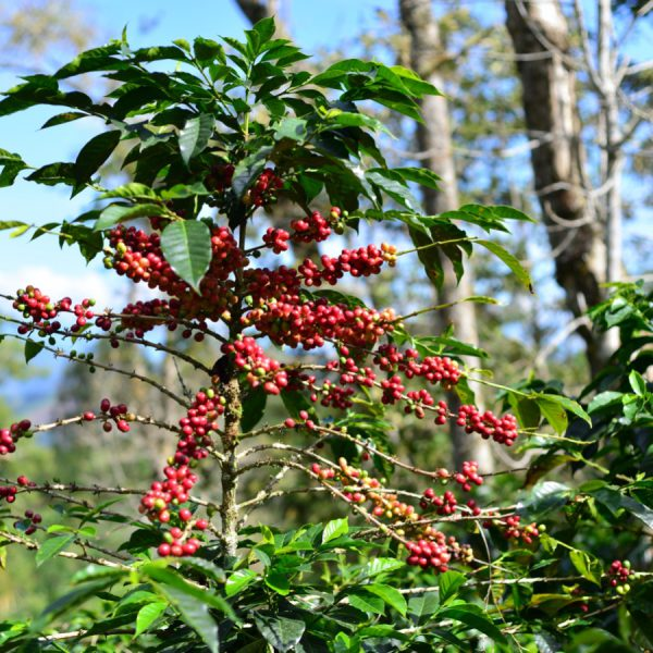 Coffee tree upclose with red cherries