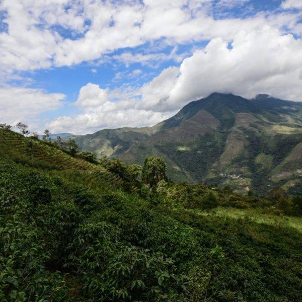 A coffee plantation in Peru