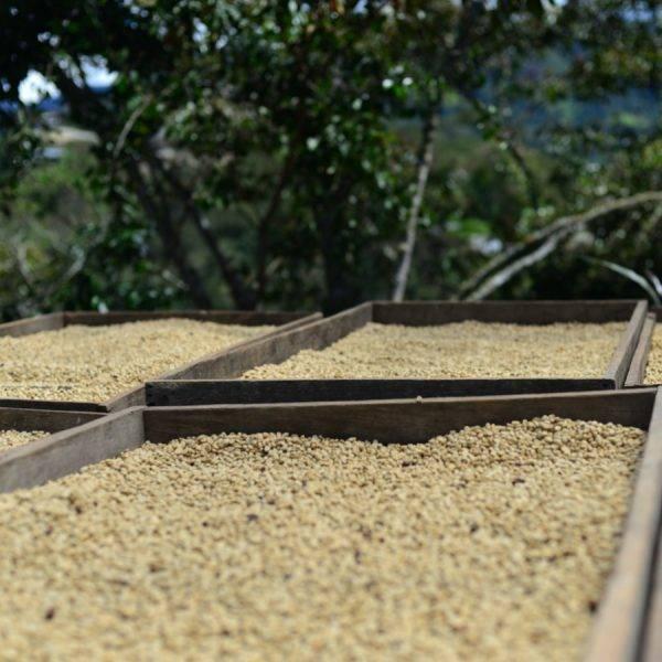 Coffee drying process