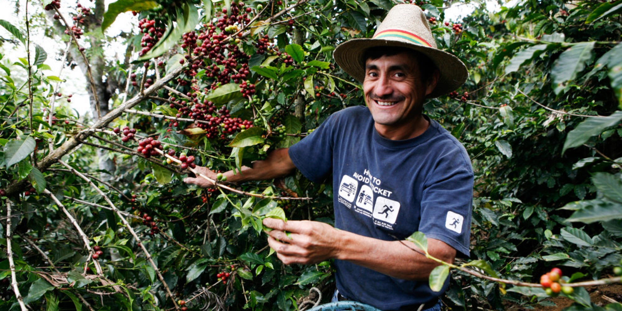 Guatemalan man picking coffee