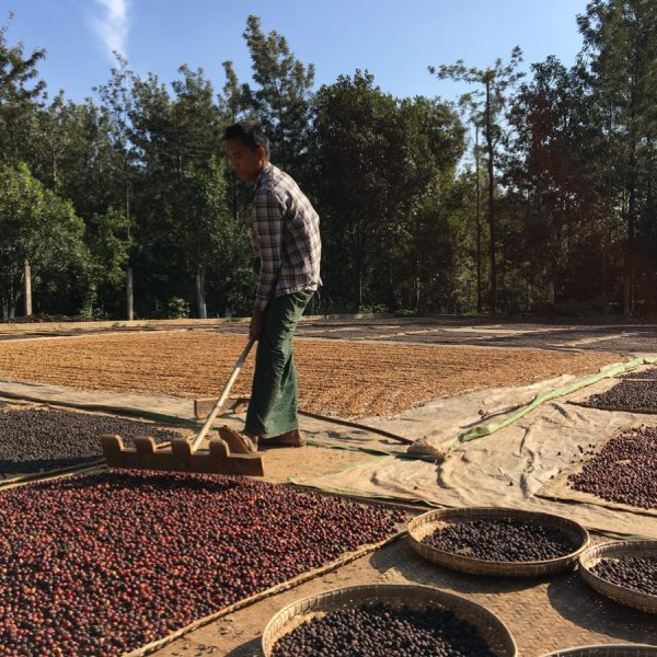 Myanmar coffee drying