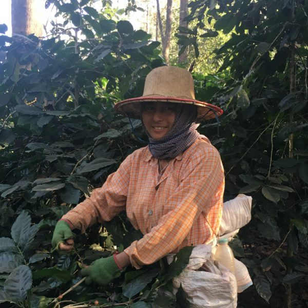 Woman from myanmar picking coffee