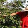 A man selecting coffee cherries