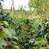 A coffee tree inside a plantation
